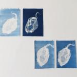 vier Cyanotypien je 28 x 40 cm